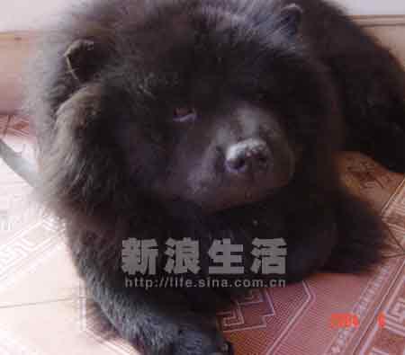 黑松狮犬_