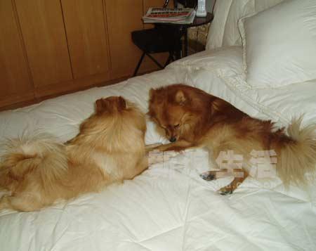 在大床上和力力亲亲的时候被发现……还被拍照!-狐狸犬美美苗条时