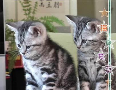 美国短毛银虎斑猫(组图)
