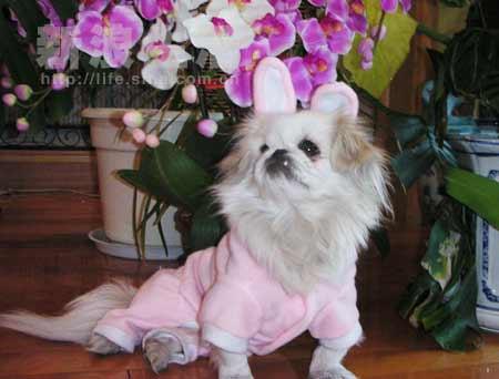 可爱的兔女郎狼