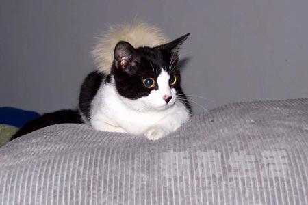 我是一只标准的小奶牛猫