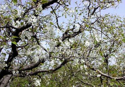 景区内,大片的梨树上都已结满了含苞待放的花蕾,其间金灿灿的油菜花