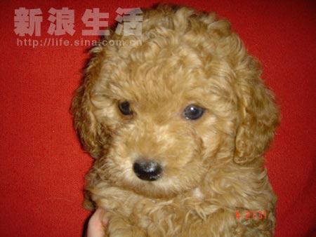超级可爱多贵宾犬_第1页_宠物咨询中心_宠物_西祠胡同