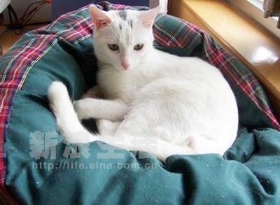 组图:绿眼美女家猫陈阿美