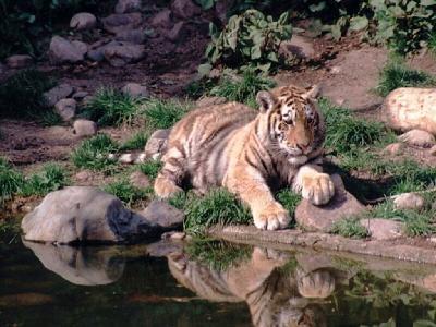 老虎成宠物是福是祸