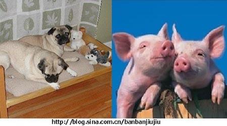 我家的两只狗狗猪 2
