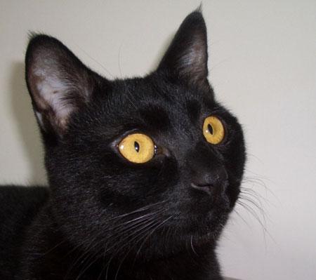 组图:大头黑色的大头猫咪(4)
