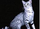 埃及猫(组图)