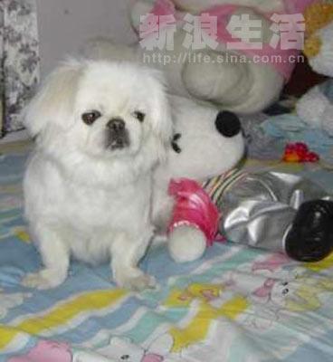 > 正文    照片上这个胖胖的,漂亮的,可爱的小京巴狗就是我家的宝贝儿