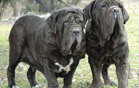 世上最凶猛的犬种排名