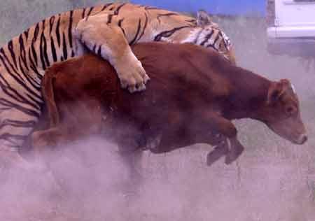 老虎是会吃人的,如果我们当中有任何一个人胆敢下车