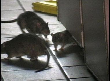 纽约肯德基餐厅内12只大老鼠追逐打闹(组图)