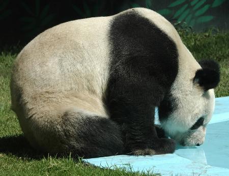 憨厚可爱惹人怜一只大熊猫的诞生