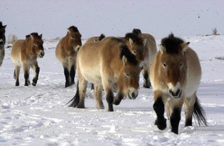 汗血马的先祖是生长在偏僻沙漠戈壁中的野马.