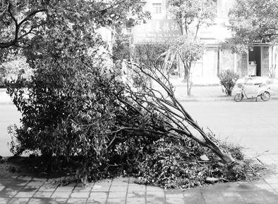 10月6日一早,大家就发现还开着花的桂花树被连根拔起,此后数天以来,就