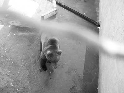 据龙泉公园动物园的工作人员讲,事发后,动物园工作人员曾用肉诱