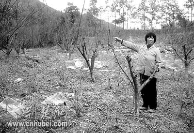 恩施三岔乡动员农民种李树 受益不成尝尽苦果(图)