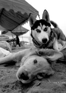 看啥,没见过狗打架.-珊瑚坝上狗狗联欢