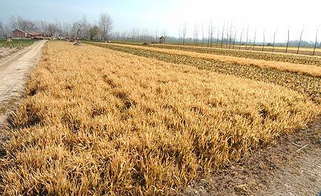 图文:农田全被泄漏液氯熏黄