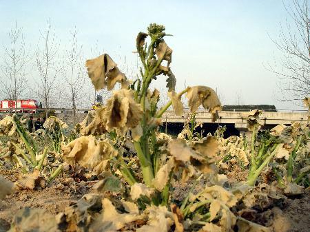 图文:事故现场种植的油菜已被氯气熏得枯黄