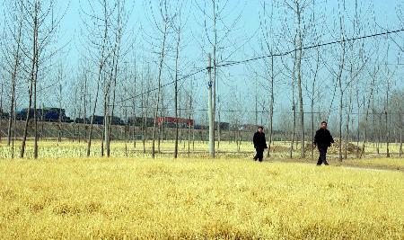 图文:事故发生地周边大片农作物被氯气熏成金黄色