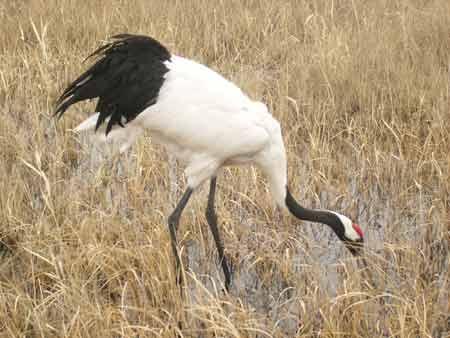 图文:扎龙国家级自然保护区丹顶鹤在觅食
