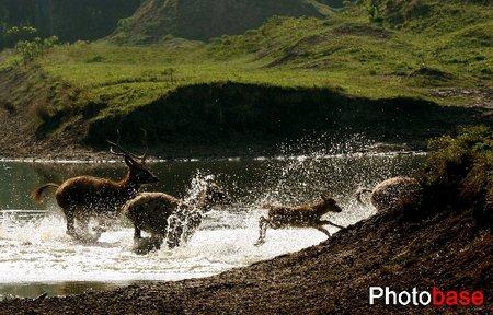 江苏大丰自然保护区里快乐生活的麋鹿(组图)