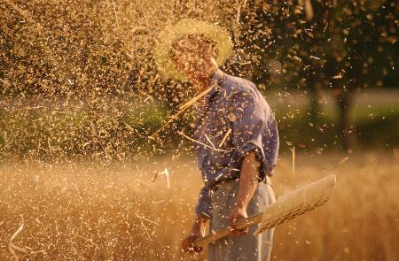 东邹平县成家村农民收割小麦