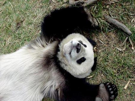 台媒体卧龙基地探望大熊猫4只候选大熊猫曝光