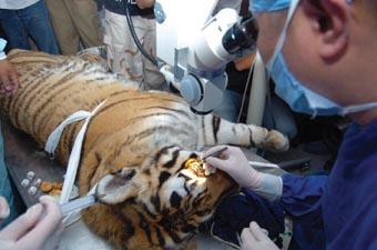 东北虎做手术(图)