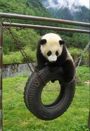 请给熊猫起乳名幸运者将赴卧龙与熊猫亲密接触