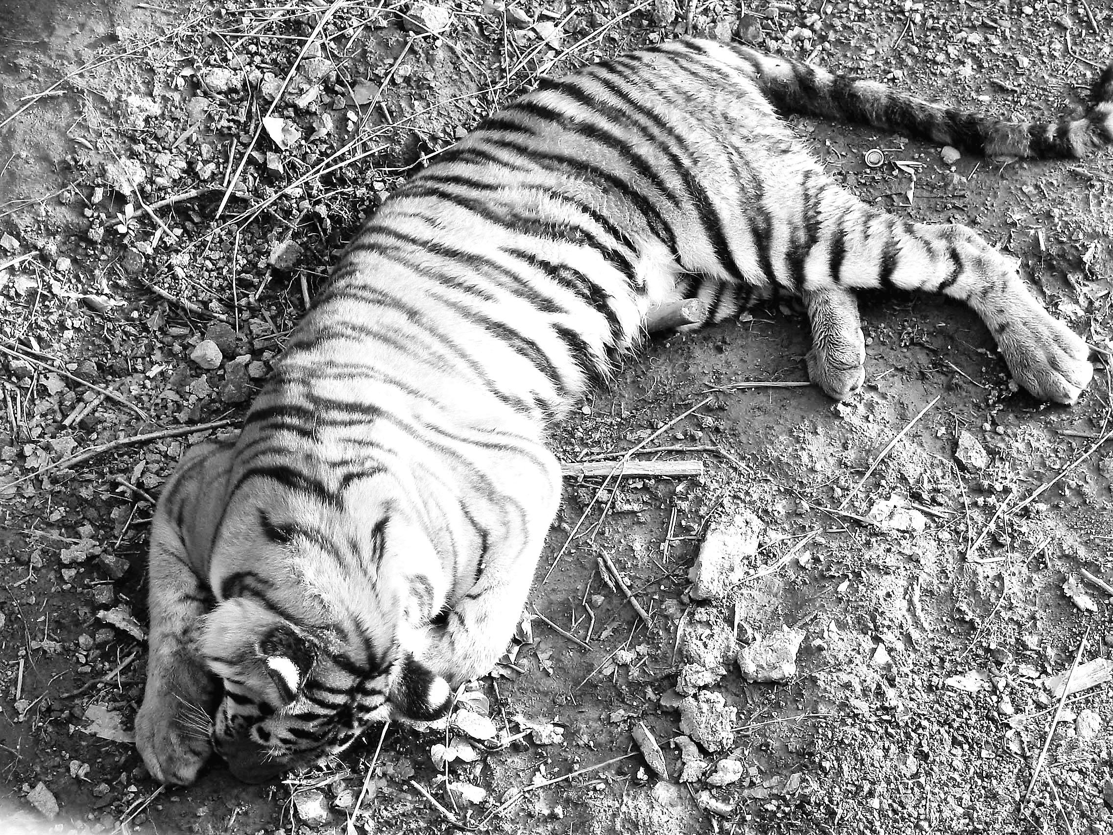 据哈尔滨北方森林动物园书记马常辉介绍