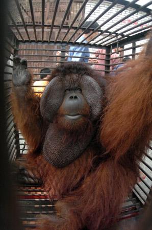 福州动物园红猩猩喜迁新别墅(图)
