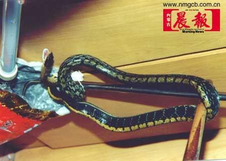 2.4米长重约6斤蟒蛇潜入包头一民宅卧室(图)