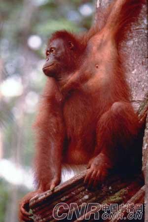险峻的山峰,激流窜奔的溪流,温润潮湿高密度的森林是奇花异兽的天堂   砂捞越是一块拥有150万年历史的土地,三分之二是原始森林,浓密的热带雨林充满大自然未可知的奥秘与奇趣。砂捞越共有10个世界级的森林公园2个野生动物中心。在石蒙谷养育中心,你可观赏到人猿如何从森林里攀爬着树木来到喂养区享用它们的食物。乘船在南中国海经过40分钟的航程即可进入巴哥国家公园,长久经过海水浸蚀形成的段崖峭壁充满奇形怪状的植物,如红树林、龙脑香树丛、白沙森林和巴东矮林等;长鼻猴是婆罗洲才有的一种濒临绝种的灵长类,以红树林为家。