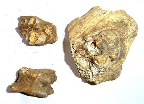 图为此次发现的鹿牙等动物化石.新华社发
