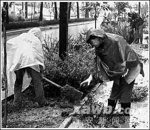 栽花种树不避风雨(图)