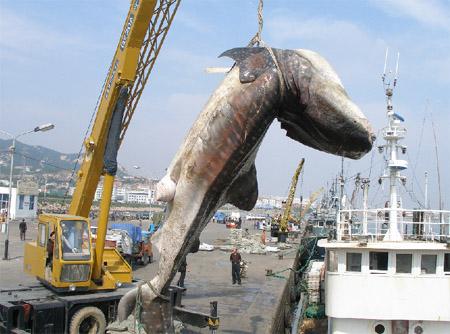 世界上最大的蛤蟆