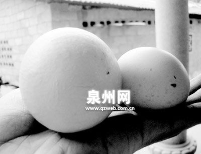一母鸡产下一个四两重巨蛋(组图)