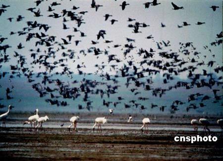 江西加大监控鄱阳湖区候鸟预防禽流感