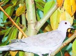 嫩江高峰林场鸟类环志站发现灰斑鸠