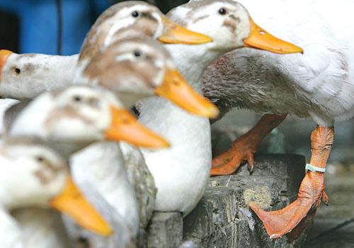 农业部将推广禽流感防控重庆经验