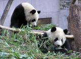 国台办:大熊猫乳名将考虑台胞建议