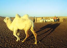 内蒙古阿拉善盟双峰骆驼面临灭绝危险(组图)