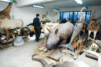 北京自然博物馆珍贵藏品遭损毁:标本保存靠樟脑
