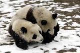 台当局将在10天内决定是否让大熊猫赴台