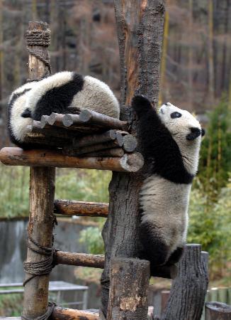 台湾当局将于3月31日决定熊猫是否赴台