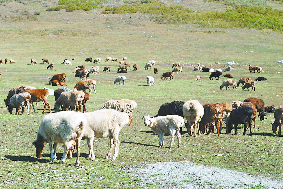 新疆草原降水稀少牲畜面临断粮