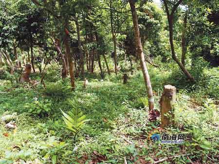 海南:槟榔上山蚕食天然林