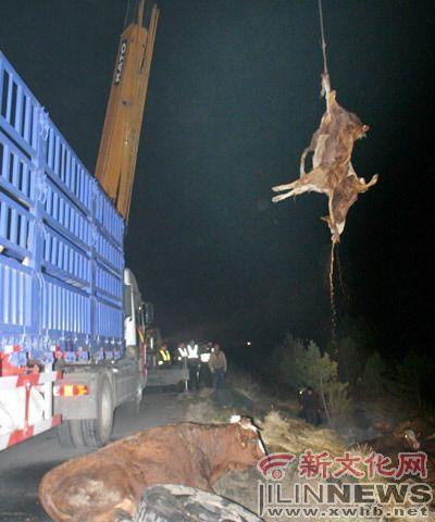 长榆高速公路载着黄牛的卡车翻车黄牛死伤大半